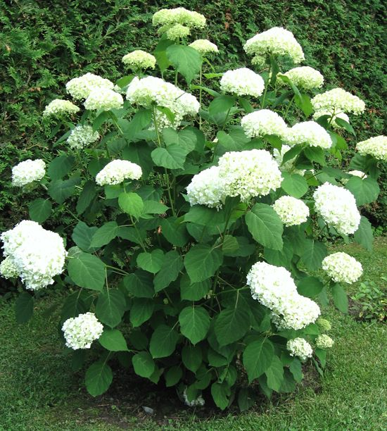 Incrediball hydrangea blooms from summer to fall - Canadian Gardening