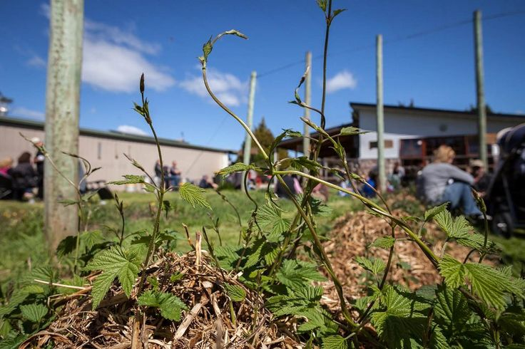 Hops at Seven Sheds brewery 5 October 2014