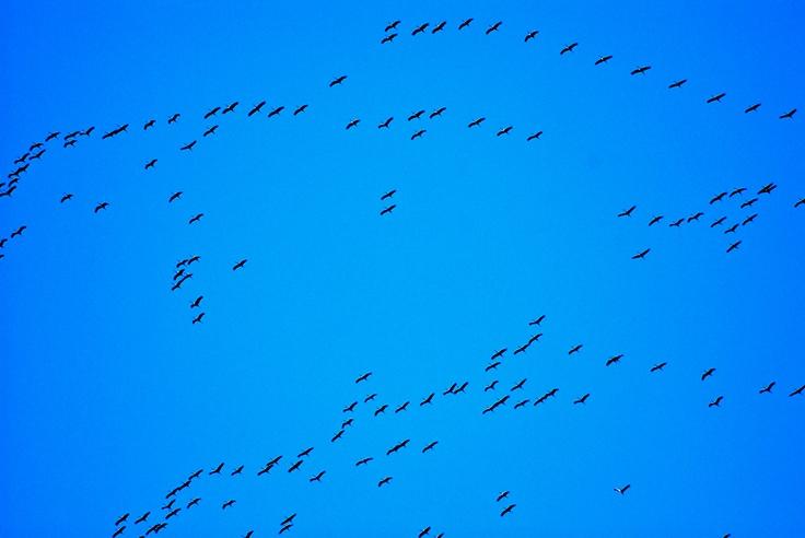 Storks flying south for winter.