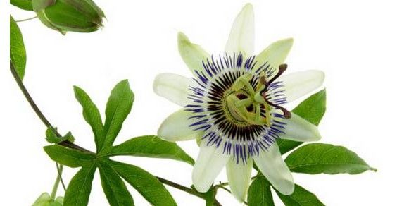 Passiflora: mille proprietà, usi e benefici http://www.greenme.it/vivere/salute-e-benessere/10739-passiflora-proprieta-benefici
