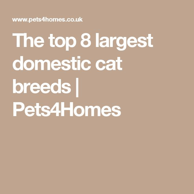The top 8 largest domestic cat breeds | Pets4Homes