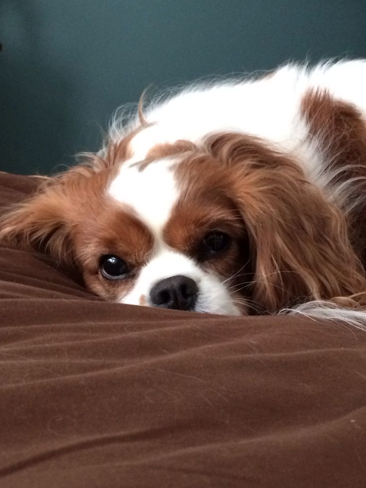 They are Adorable - Cavalier King Charles.