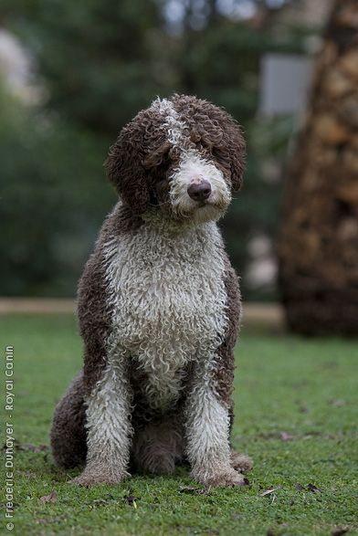 Spanish Water Dog (SWD) - A medium-sized, curly-coated dog. The SWD is a multi-purpose farm dog whose primary function was herding. Secondarily, it was also used for hunting and as an assistant to fishermen. Many SWDs enjoy swimming and diving. The SWD has a distinctively single, curly coat. http://www.akc.org/breeds/spanish_water_dog/index.cfm