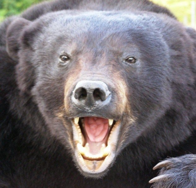 At one point, Africa hosted a subspecies of brown bear called the Atlas bear, which lived in the northern part of the continent, particular...