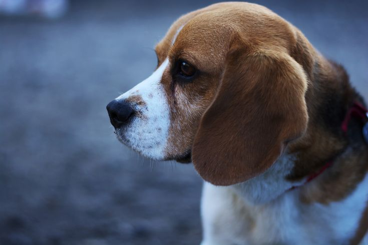 Another Facility for Breeding Beagles for Lab Testing Approved. How You Can Help End This Practice