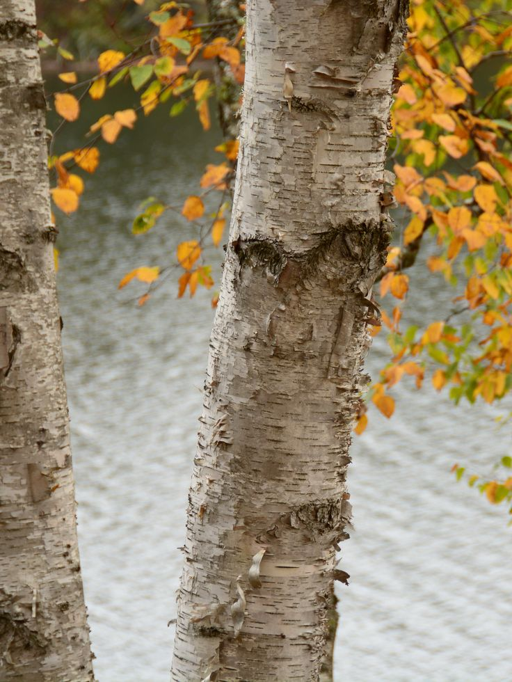 Birch tree at the lake. Photo by Pat Johnson