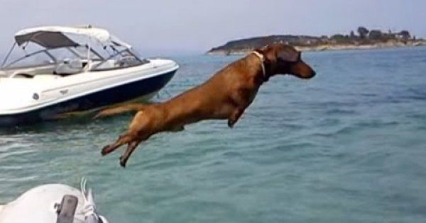Hilarious little #Dachshund on #holiday in Greece | watch what happens!