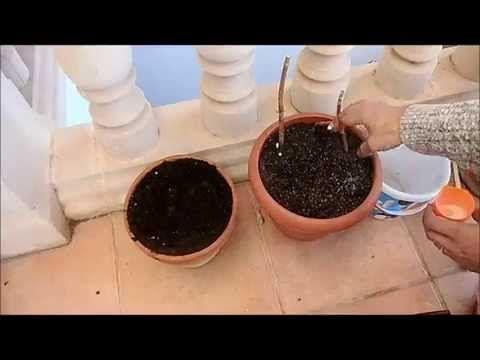 Reproducir hortensias por esquejes - YouTube