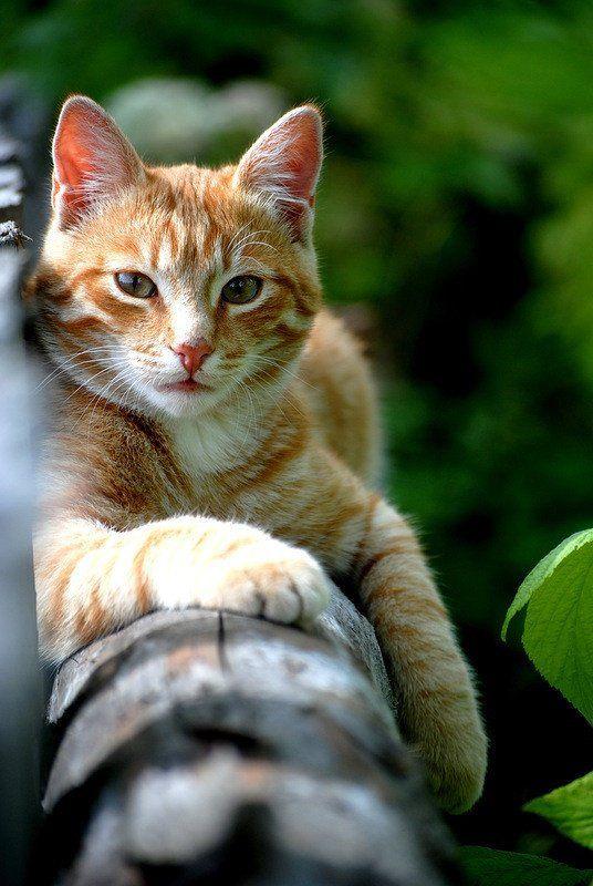 Bekannt Les 25 meilleures idées de la catégorie Chats roux sur Pinterest  QH41