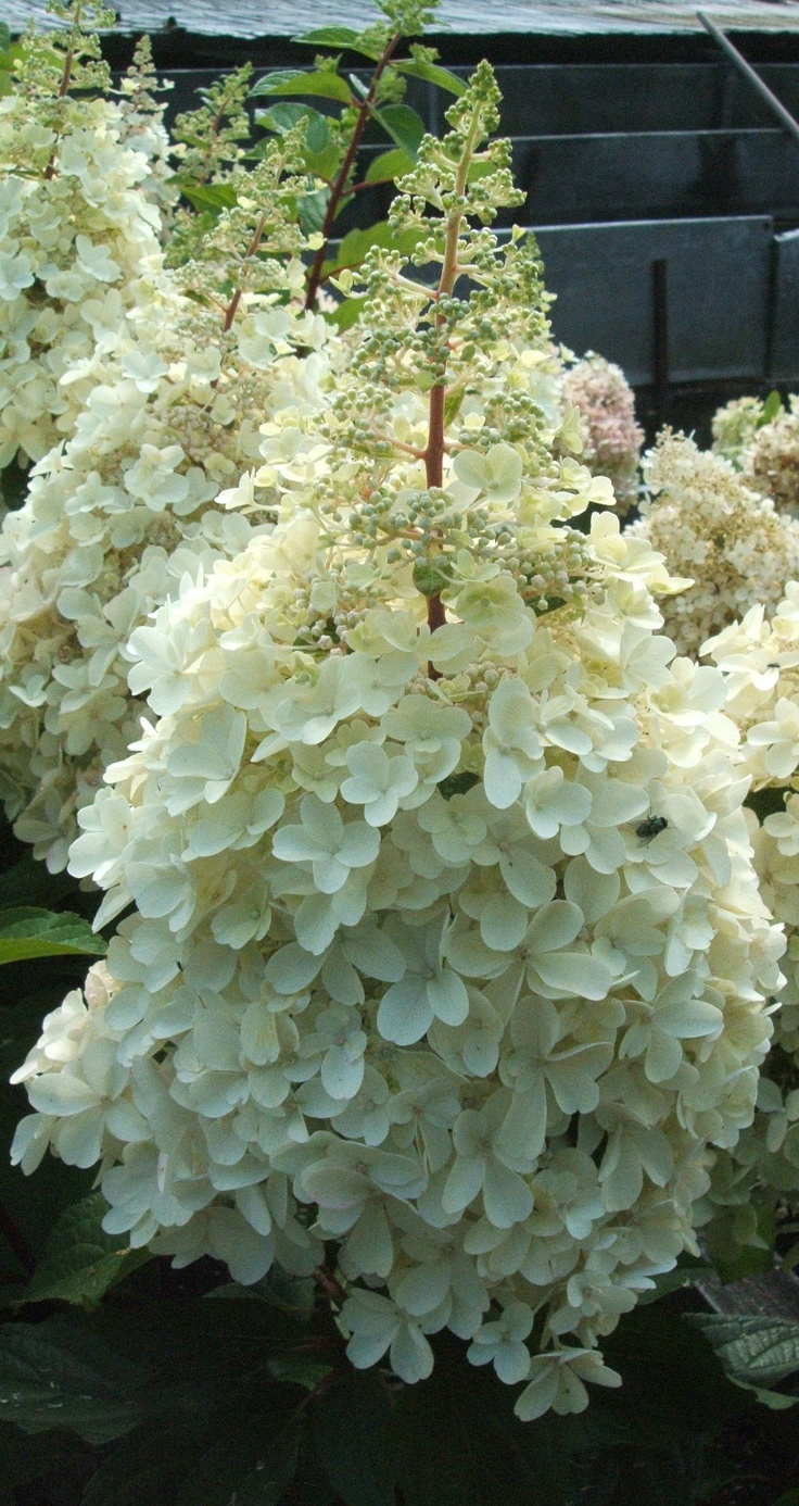 39 best hydrangeas paniculata images on pinterest. Black Bedroom Furniture Sets. Home Design Ideas