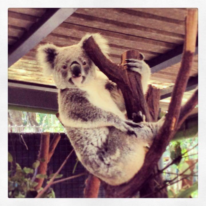 Lone Pine Koala Sanctuary , Fig Tree Pocket, QLD, Brisbane 2007 Summer with KMU friends