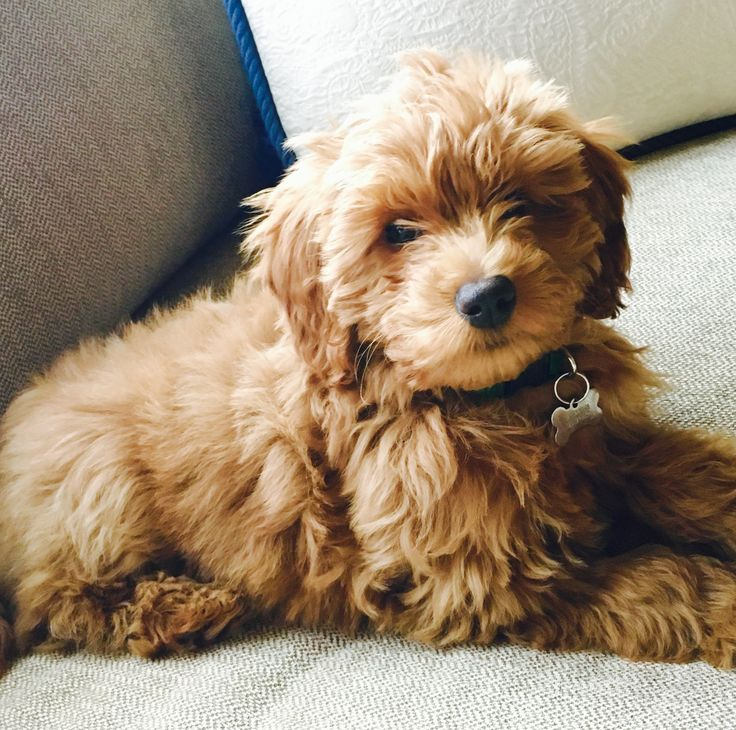 Macy 3 month old mini F1B Goldendoodle #DoodleCountryMinis
