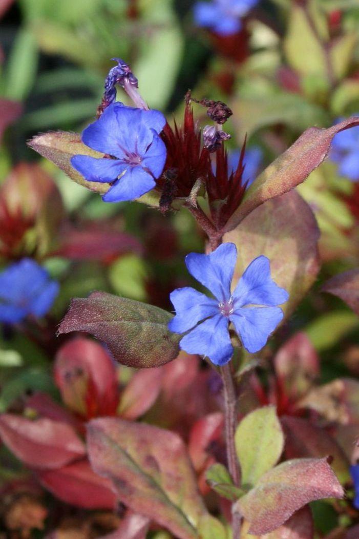 17 migliori immagini su piante erbacee perenni a fiori for Fiori estivi perenni