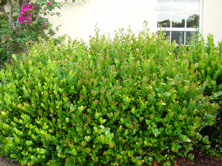Cocoplum a great florida native shrub landscape for Great bushes for landscaping