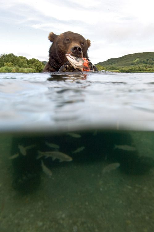 Grizzly scene: Gone Fish, Dinners Time, Sergey Gorshkov, Salmon Fish, Big Bears, Life Is Good, Lights Snacks, Grizzly Bears, Animal