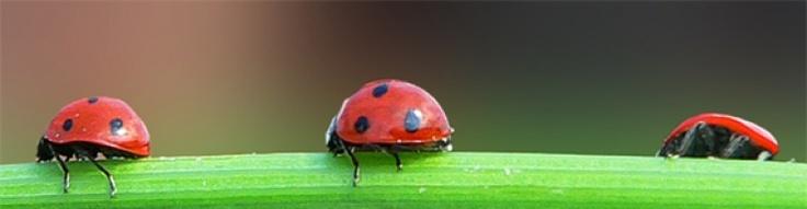 Mariquita ó Vaquita de san Antonio, insectos beneficiosos