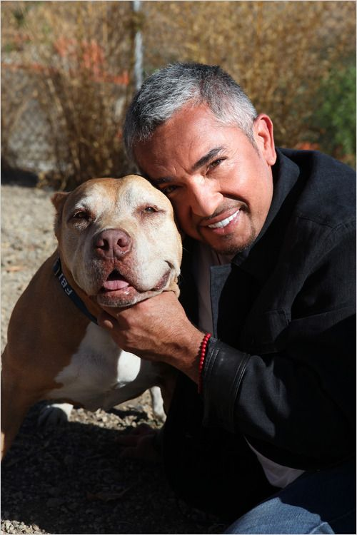 The Legend himself, Cesar Millan, and his pitbull Daddy. (The Dog Whisperer) And his training works!