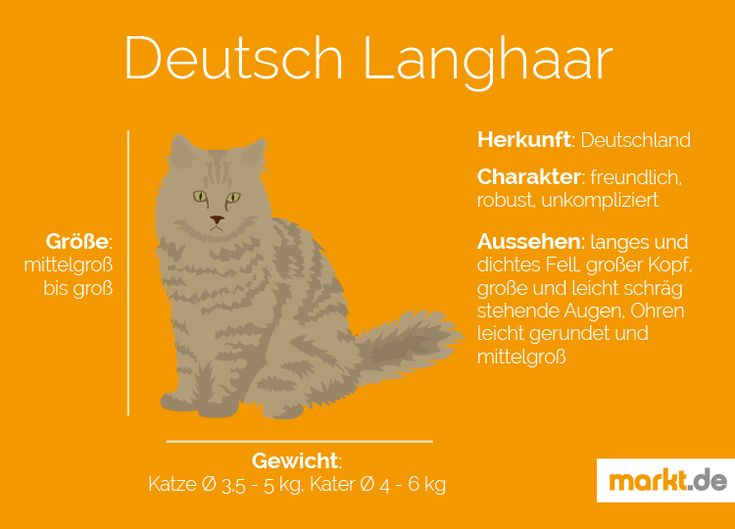Deutsch Langhaar | markt.de #katzen #rasseportrait #infografik #fakten #infos #charakter #eigenschaften #zucht #deutsch #langhaar