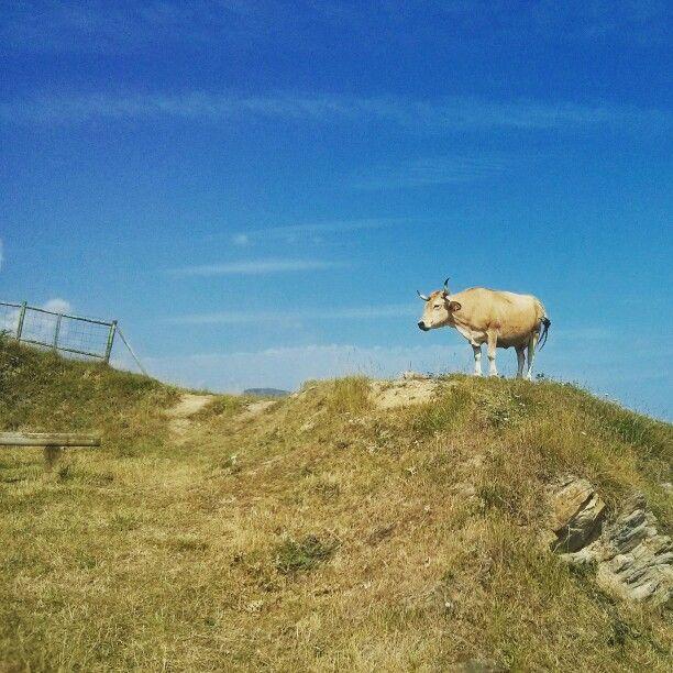 Vacas en Pobeña...