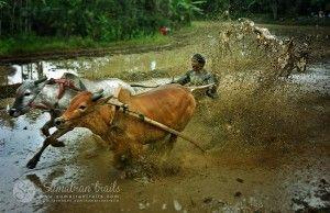 pacu-jawi2_batusangkar_west-sumatra_sumatran-trails-001