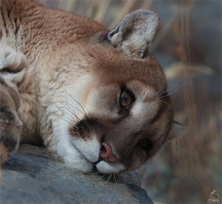 Young mountain lion: Wild Animal, Big Cat, Lion Animalark, Young Mountain, Lion Animals At Animales Ark, Contemplation Mountain, Animal Ark, Things, Mountain Lion