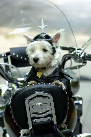 Dog Wearing Leather Jacket and Helmet Sitting on ...