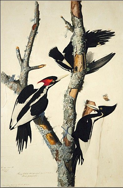 Ivory-billed Woodpecker (Audubon)