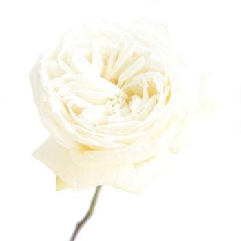 White Garden Rose 14 best fifty flowers images on pinterest | garden roses