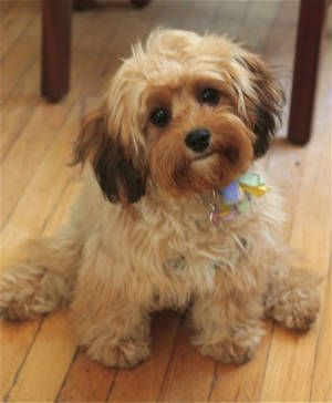 Cavapoo (Cavalier King Charles Spaniel Poodle)