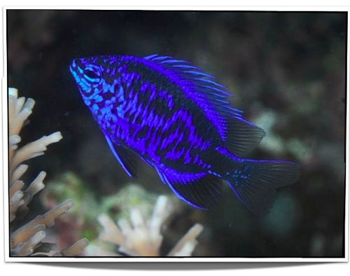 Pet Springer's Damselfish For Sale - only $6.95 at Pet Fish For Sale - Buy damsels online and many other tropical saltwater pet fish for sale at www.petfishforsale.com