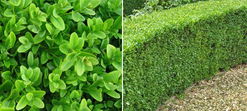 Box hedge plant (Buxus sempervirens); evergreen; slow-growing (10-15cm p.a.); needs trimming late spring with hand shears; shade tolerant; suitable for most soil types; not wet or windy sites.