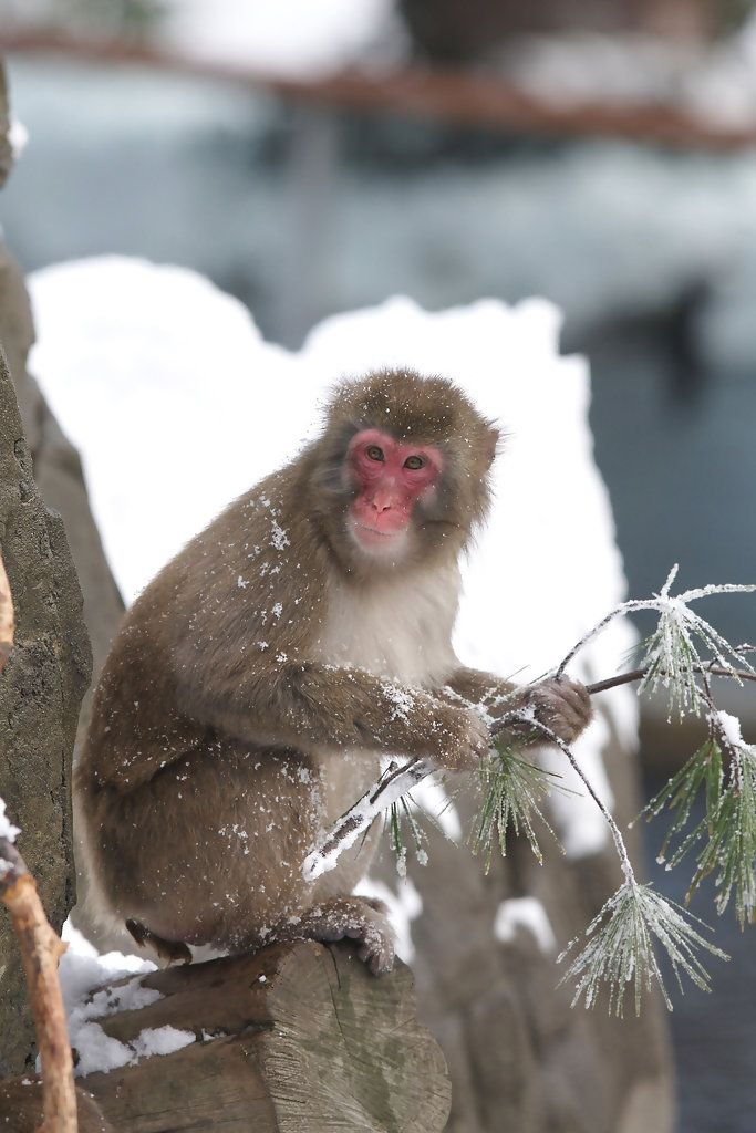 Snow Monkeys @ Central Park Zoo