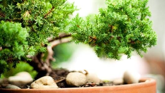 """Learn how to care for a bonsai tree. The term bonsai (""""tree in a tray"""") is used to describe trees and shrubs trained in miniature forms and grown in special con"""