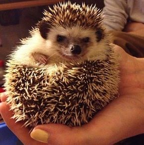 1000 Images About Hedgehogs On Pinterest Hedgehog Baby