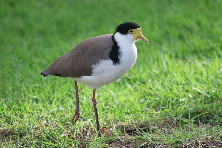Masked Lapwing (or Plovers as we call them) - Long legged, they are usually in pairs of mum and dad. Very territorial and make a screeching noise when disturbed. They are mostly ground dwelling birds and their babies are like fluffy balls on sticks. They have a spur they use to attack invaders. They pop by the back from time to time and we love to see them  with their fuzzy chicks.