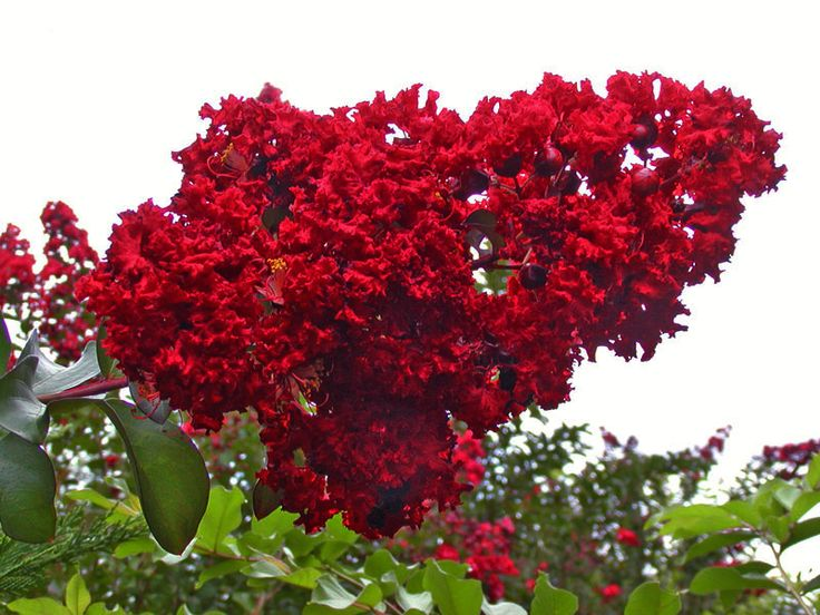 Crape Myrtle Dynamite Leaf Blossoms...OMG  cried when I saw these the first time.