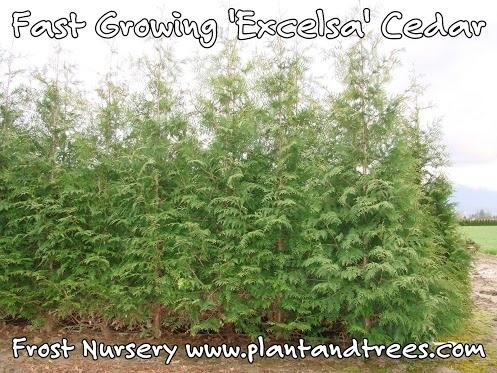 Excelsa cedar  Thuja plicata 'Excelsa' Western Red Cedar Fast growing evergreen