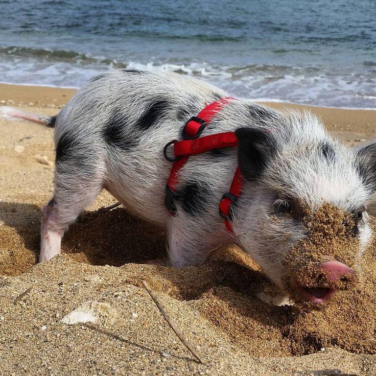 Best 25+ Teacup potbelly pig ideas on Pinterest | Teacup ...