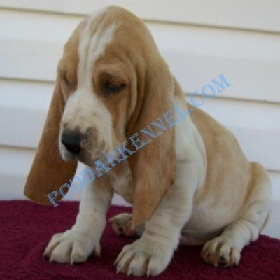 Miniature Basset Hound Basset Hound Puppies For Sale Information