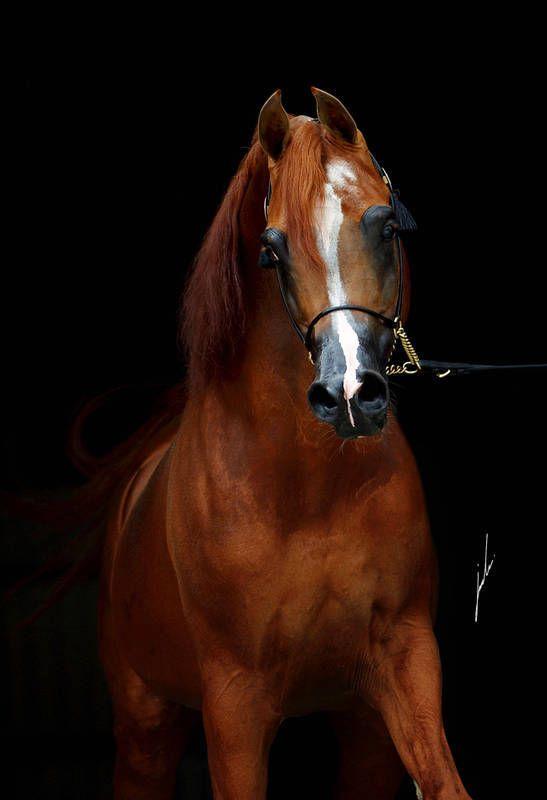EDEN C  (Enzo × Silken Sable)  2005 Chestnut Stallion