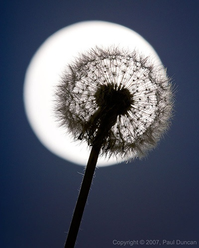 Photography Bucket List: Shoot a moon silhouette     Dandelion Moon by snapify, via Flickr
