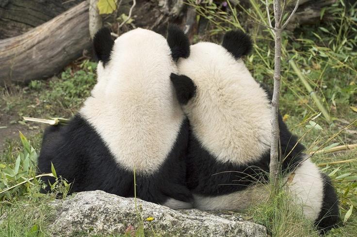 """Пандите Фу Ху и майка му Янг Янг от зоологическата градина на виенския замък """"Шьонбрун"""" са наистина близки. Само след ден обаче Фу Ху ще потегли към новия си дом в град Чунду, Китай."""
