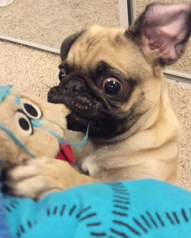 Must Destroy Toy Pug Pugs Pugs Funny Black Pug Puppies