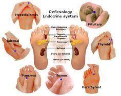 Reflexology Endocrine System - Endocrine reflexology therapy supports normalize glandular secretion; thus stabilizes mood, growth, metabolism, and sexual functions.7 essential reflexes for efficient Endocrine systemThe endocrine system comprises glands that secrete hormones into the bloodstream. The major glands of the endocrine system are the pineal, pituitary, hypothalamus, thyroid gland, parathyroid gland, pancreas, adrenal glands, and reproductive. The reproductive system of the female…