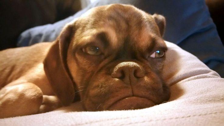Earl, el perro gruñón que parece estar siempre enfadado