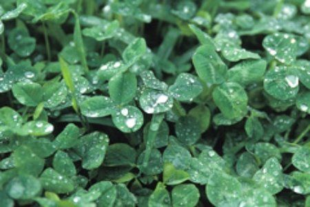 can't wait to have our clover yard...It's already taking over the backyard. So lush, so pretty and so low maintenance.
