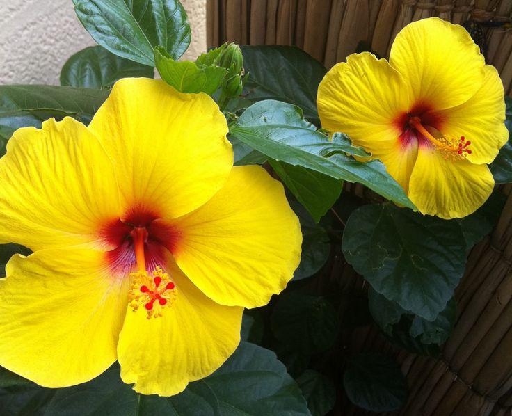 Pátio das Flores: Hibiscos