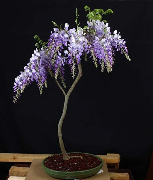 This is my new holy grail....a Wisteria Bonsai! The can take up to 10 years to bloom but they're so beautiful that I'd be willing to wait!