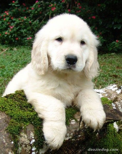 OR we would get a White Golden Retriever