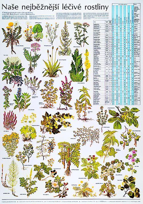 Naše nejběžnější léčivé rostliny - nástěnná tabule ( 67x96 cm ) | ALBRA…